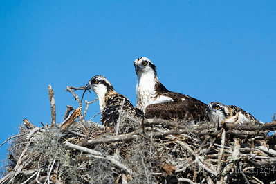 Osprey Family Flamingo Marina, Everglades National Park Florida © 2014