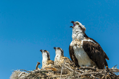 Look, Up In the Sky ..... Mom osprey & her chicks look towards the sky for food coming in from dad Flamingo Marina, Everglades National Park, Florida © 2014