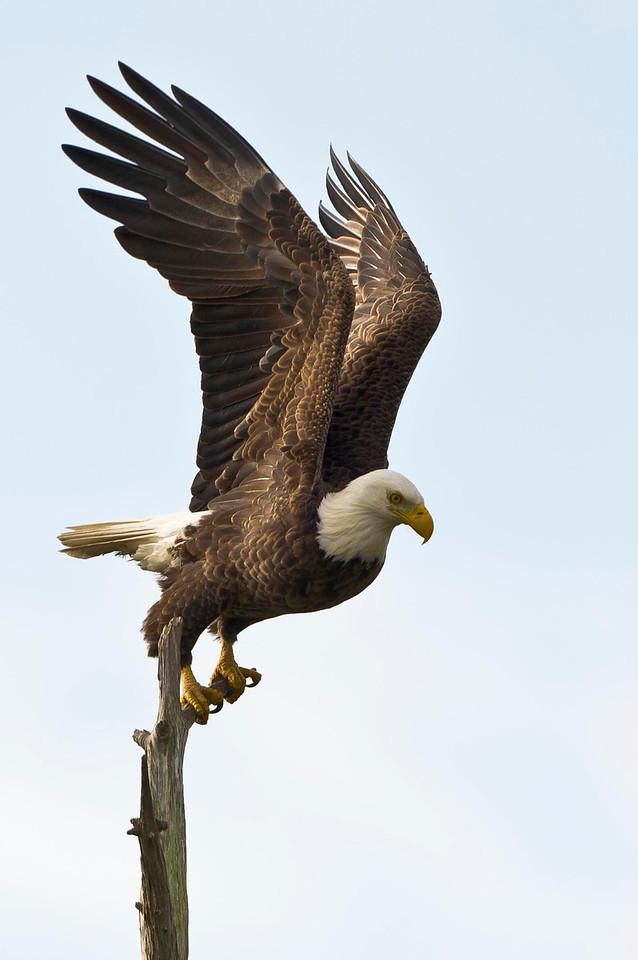 Preparing to Launch Mature Bald Eagle Kenansville, Florida © 2013