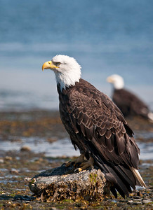 Mature Bald Eagles  Homer Spit Beach - Bayside Homer, Alaska © 2010