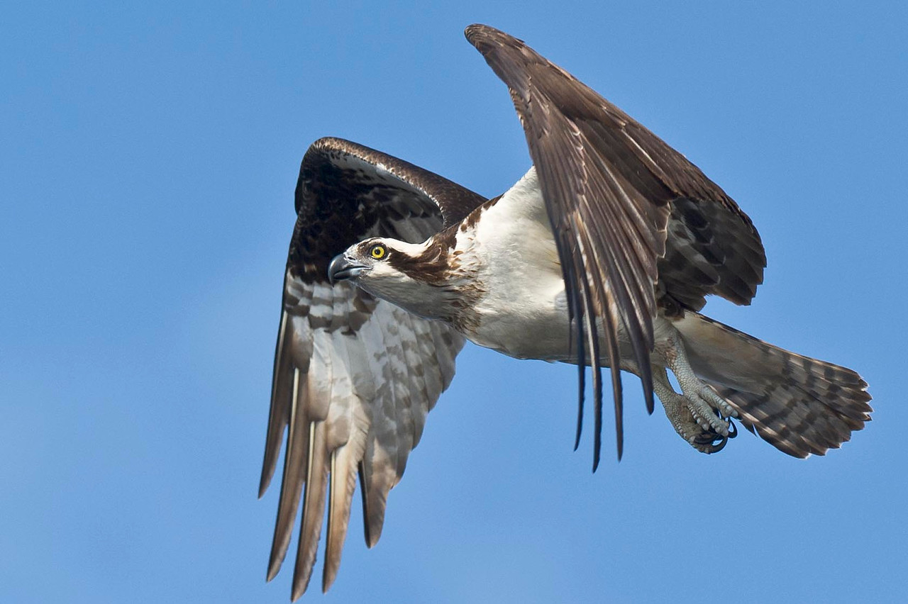 Osprey Inflight Blue Cypress Lake Vero Beach, Florida © 2013