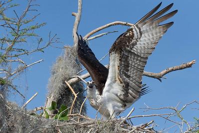 Osprey on alert Blue Cypress Lake Vero Beach, Florida © 2013