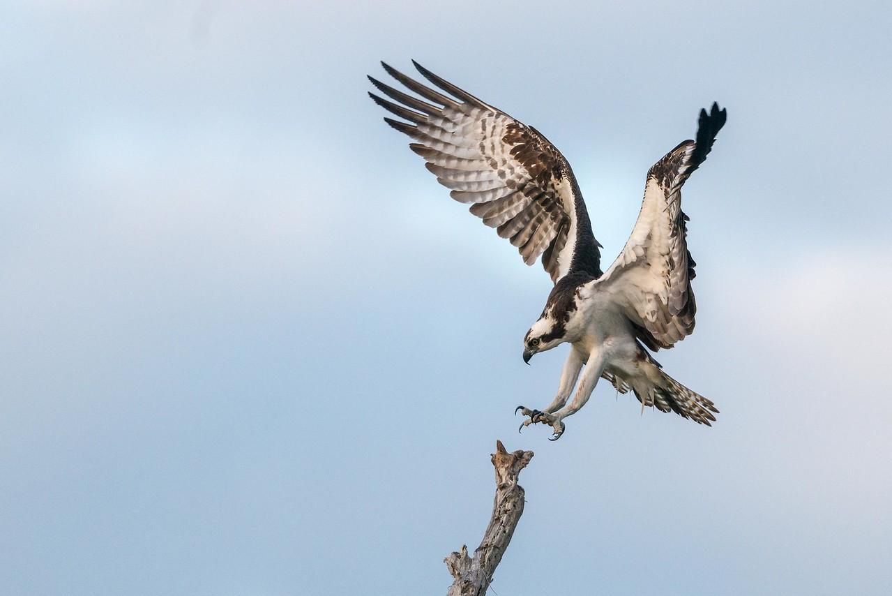 Osprey's Precision Landing Blue Cypress Lake Vero Beach, Florida © 2014