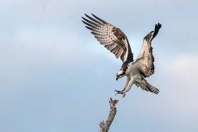 Osprey's Precision Landing Blue Cypress Lake Vero Beach, Florida © 2014