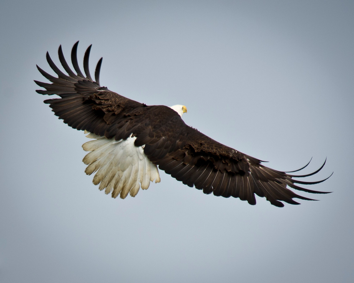 The Rear View Bald Eagle in Flight Homer, Alaska © 2011