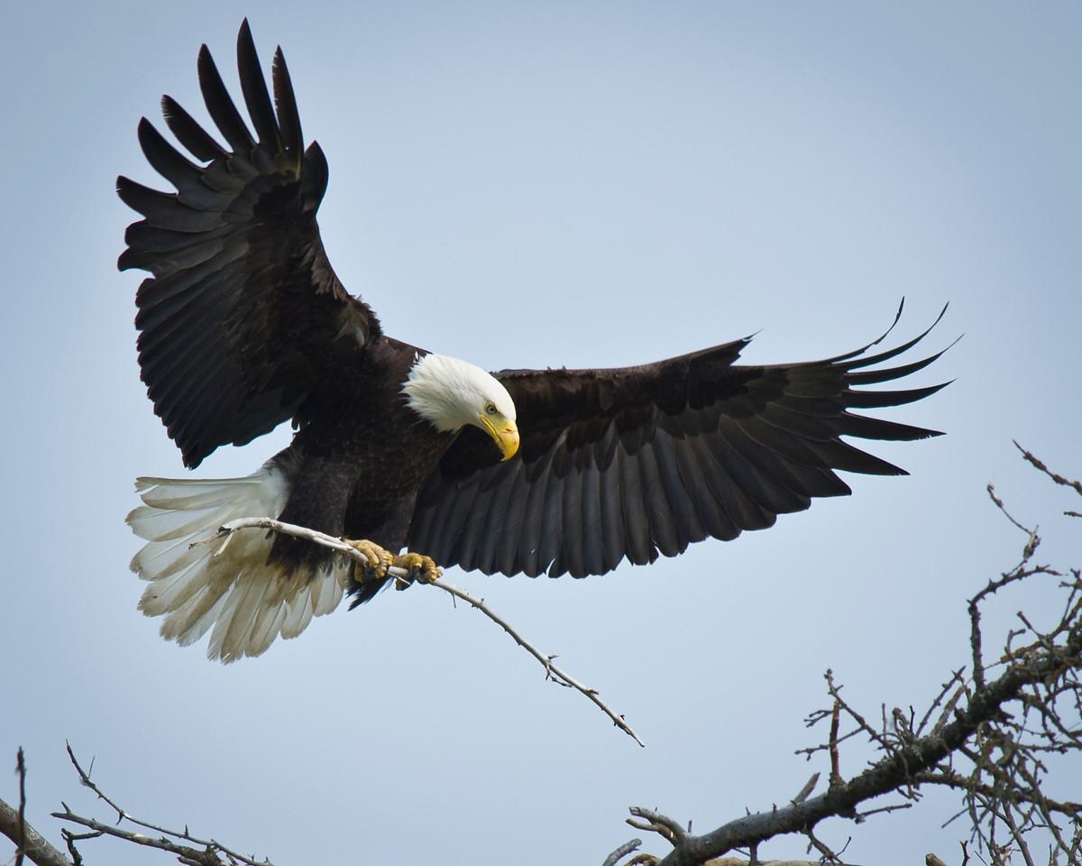 Bald Eagle Tending to It's Nest Homer, Alaska © 2011
