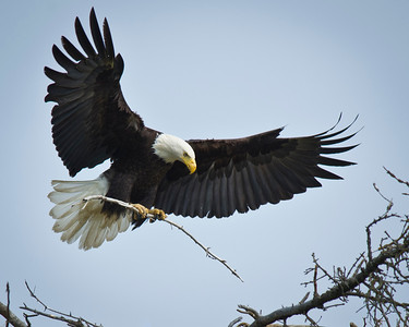 Bald Eagle Tending to It's Nest Homer, Alaska © 2011