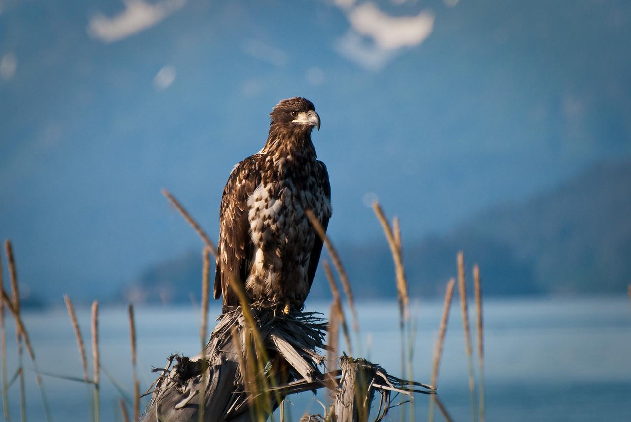 Juvenile Bald Eagle Homer, Alaska © 2010