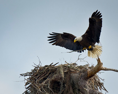 Home Sweet Home Bald Eagle Adds Finishing Touches To Nest Kenansville, Florida © 2012