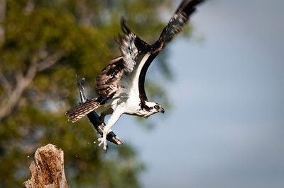 Osprey with barracuda catch takes flight Flamingo, Everglades National Park Florida © 2010