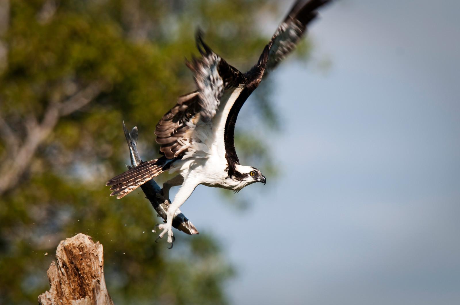 Osprey with barracuda catch takes flight Flamingo, Everglades National Park Florida © 2010