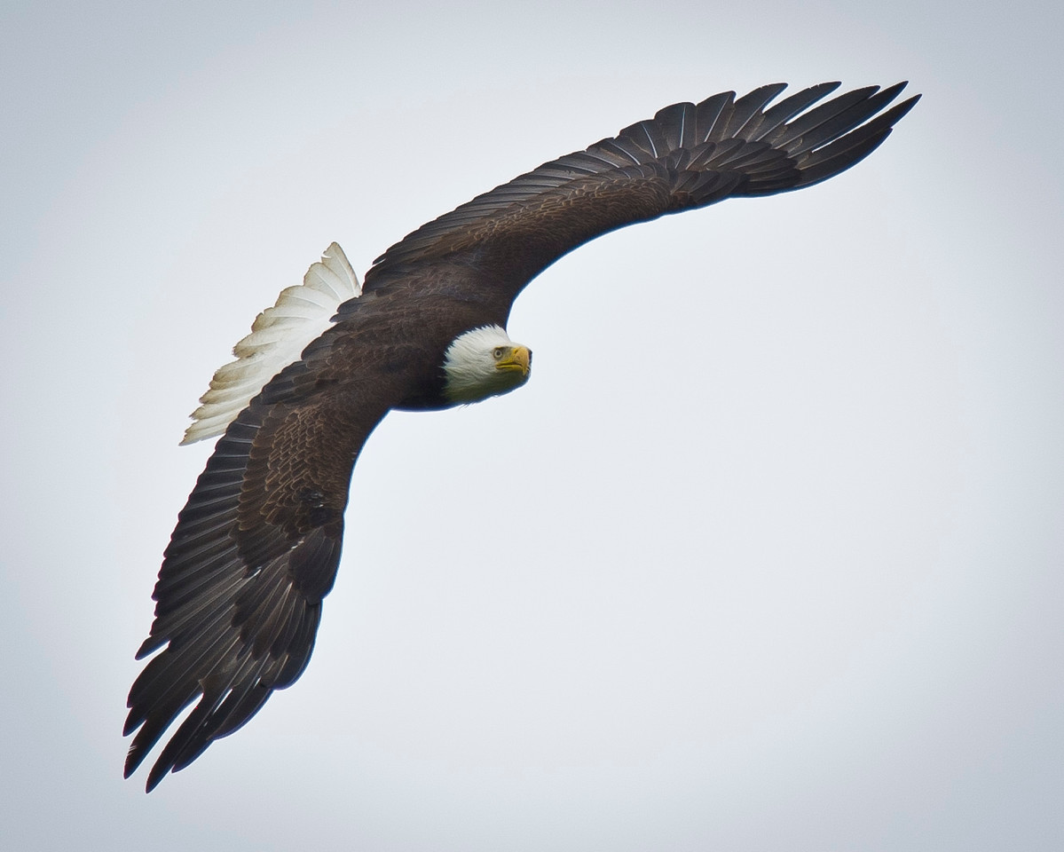The Fly By Bald Eagle Homer, Alaska © 2011