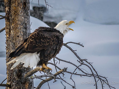 Call of the Wild Bald Eagle calls out along the river Yellowstone National Park, Wyoming © 2014