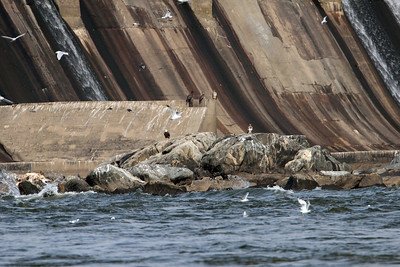 Adult and juvenile eagles handing around the bottom of the dam.