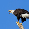 Male Eagle with band