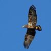 Imature eagle