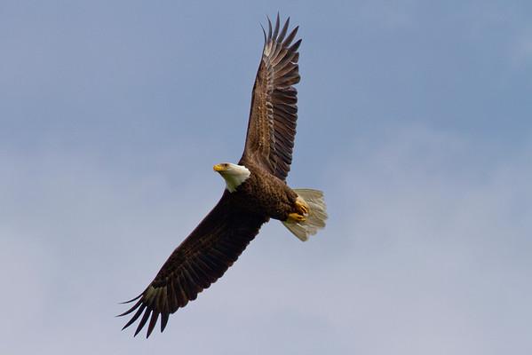 NBG Eagles - 2011 Nesting Season