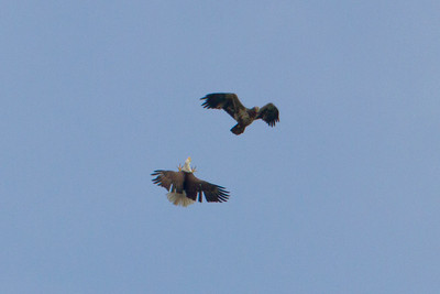 The male driving off an unwelcomed juvenile eagle - Friday, April 22nd (They were very high so this photo was heavily cropped & enlarged thus reducing the quality)