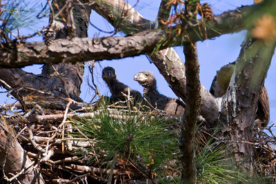 Two of  the three eaglets - April 15th (Reduced image quality due to heavy cropping)