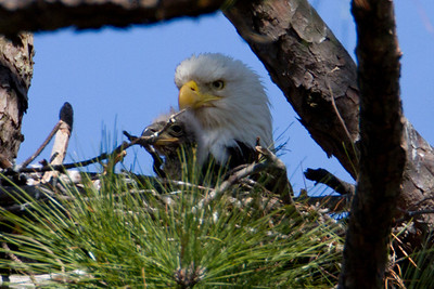 Mom and and oldest eaglet - Sunday, April 3rd.  (Heavily cropped photo reduced image quality)