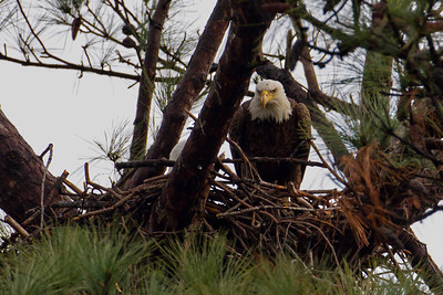 Female #3  on edge of nest while male sits in nest - Feb 17th