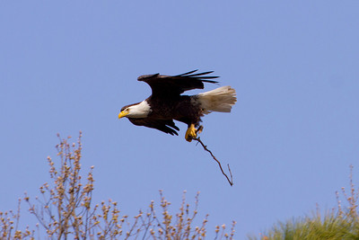 Male delivering a stick to the nest - March 2nd