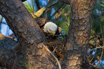 The male working on the nest - Jan 5, 2013