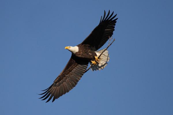 NBG Eagles - 2013 Nesting Season