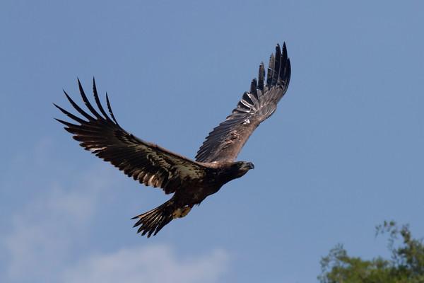 NBG Eaglets Release - July 27, 2011