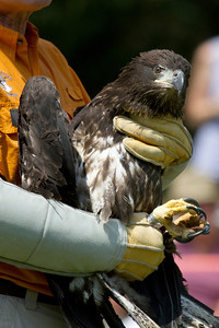 Eagle from Hampton is prepared for release.