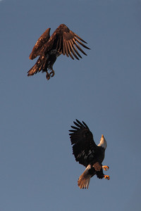 "Jan 4, 2013. ""HK"" from the 09 nest sparring with an un-banded juvenile @ North Landing River VA Beach, VA."