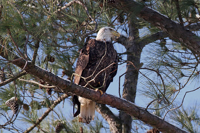 "Jan 27, 2013. Purple band ""HH"" named Azalea, from the 09 nest. This sub-adult was fitted with a tracking radio in 2009. Photo taken in the southern section of Great Bridge, Chesapeake, VA."