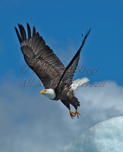 Eagle ascending from an iceberg near Juneau, Alaska.  (Winner of the Best Predator Bird award in the 2008 George W. Glennie Nature Salon).