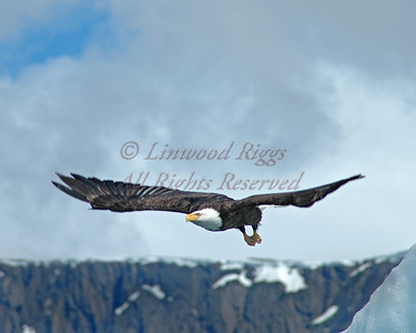 Eagle alighting from an iceberg near Juneau, AK