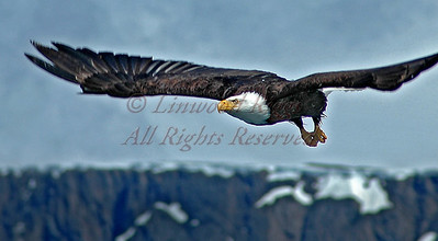 Eagle alighting from an iceberg near Juneau, AK