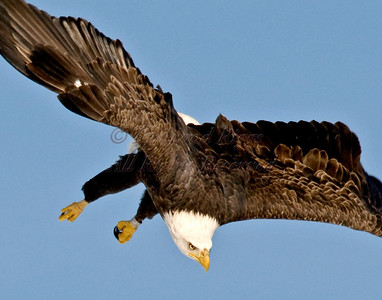 A Bald Eagle eyes its prey intensely as it swoops down for the kill.