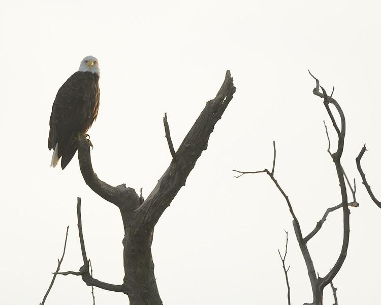 Bald Eagle at Eagle Bluffs (1)
