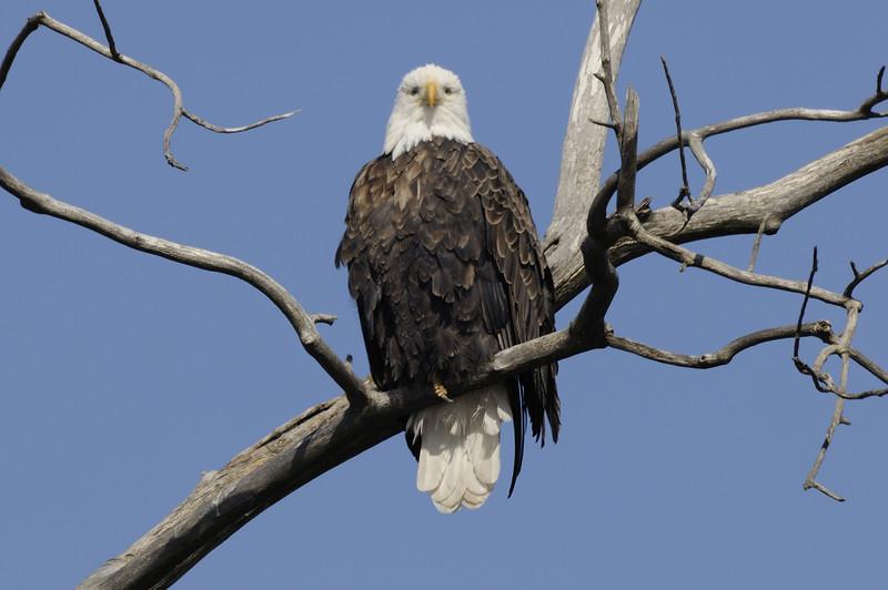 Bald Eagle (13)