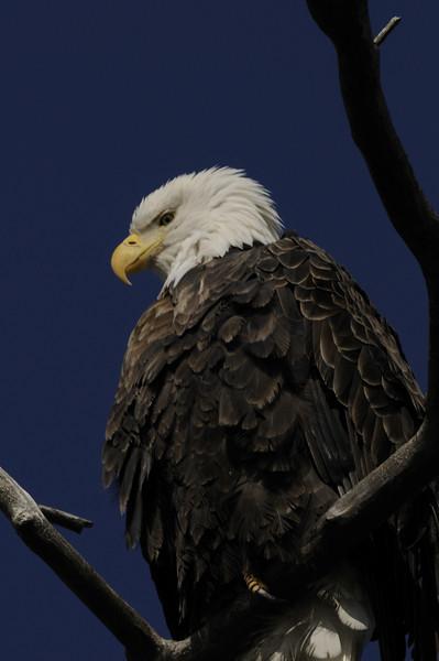 Bald Eagle (12)