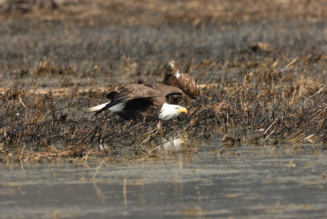 Bald Eagle_Eagle Bluffs (2)