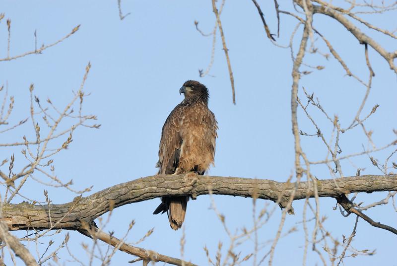 Immature bald eagle at Eagle Bluffs, Boone County, Missouri.