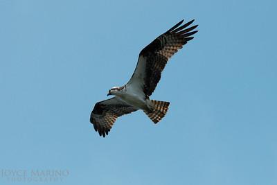 Osprey -- DSC_0935.