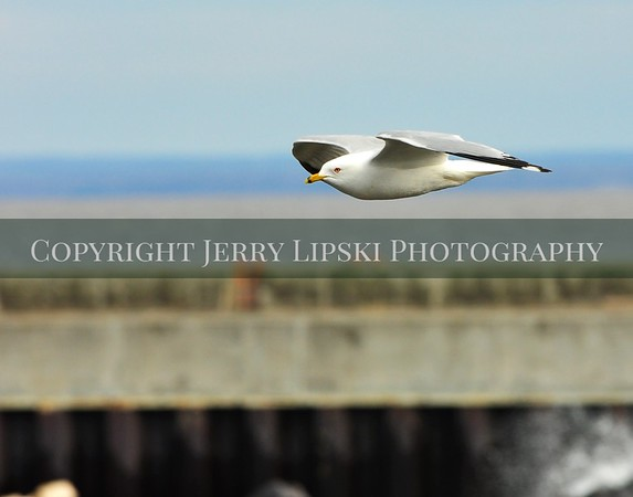 1 9MP Ring Billed Gull 3545