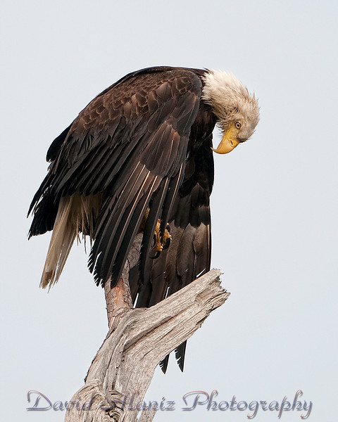 Baytown, Texas Bald Eagle.  Amen!