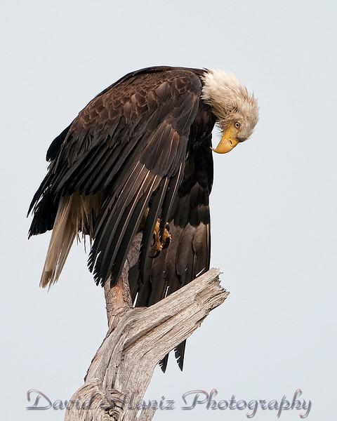 Baytown, Texas Bald Eagle.  Amen!