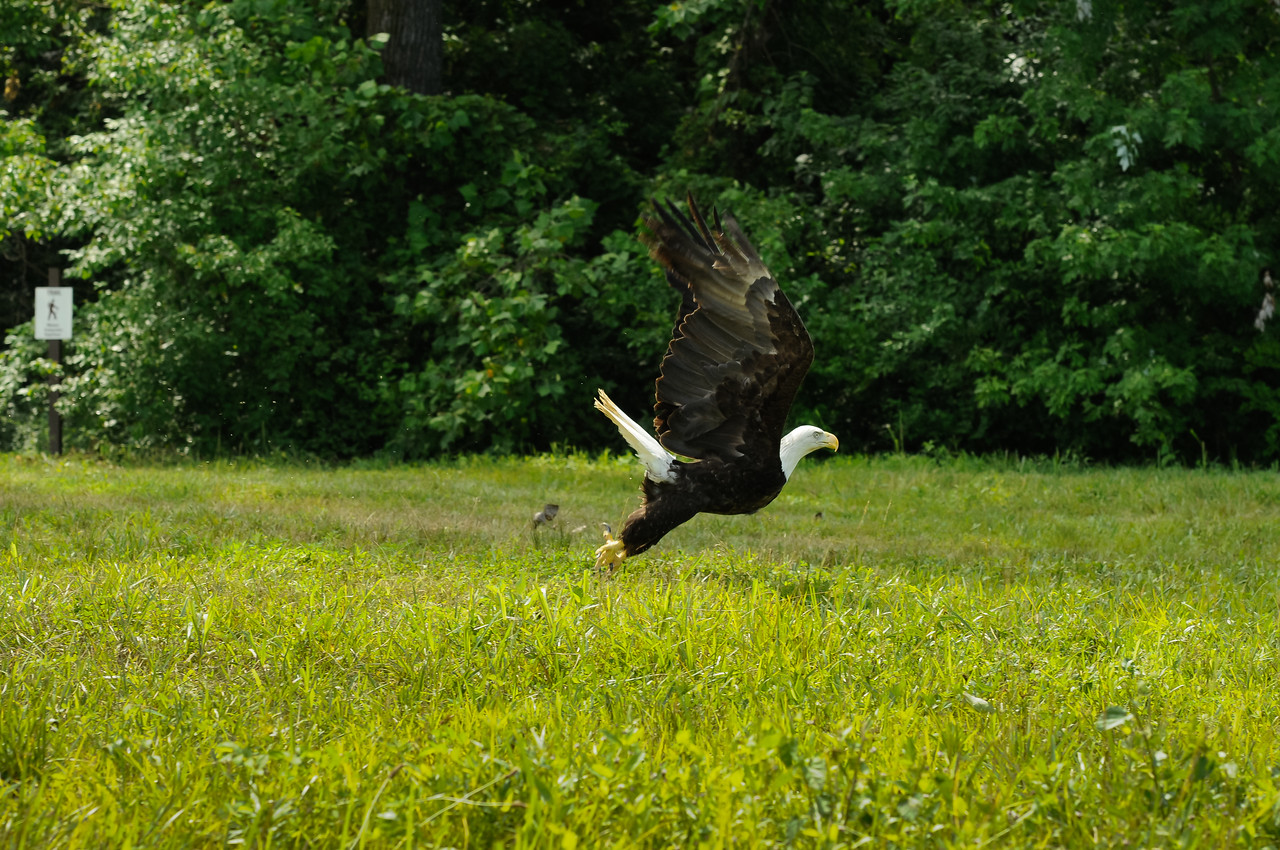 July 4, 2011, release of Einstein by the University of Missouri's Raptor Rehabilitation Program. Einstein's dash from the crate to the sky took about 3 seconds from the time he left the crate until the time he took flight over the flooding Missouri River. May fair winds carry you far and free.