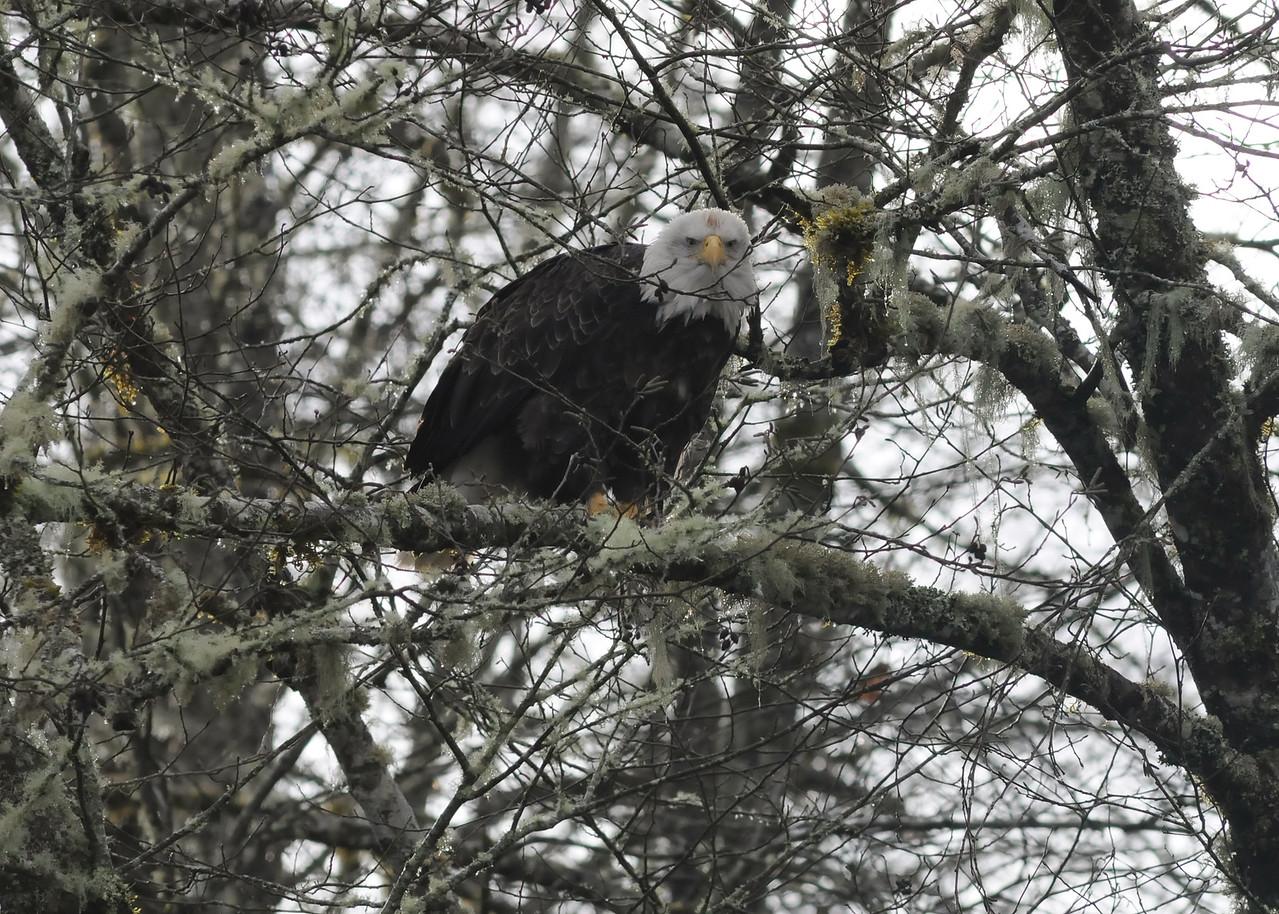 Bald Eagle Stare Down