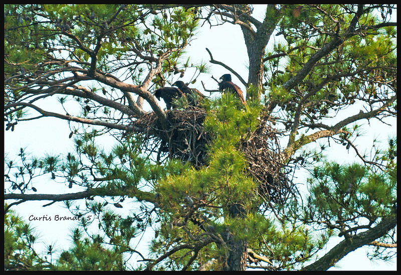 Blackwater NWR chicks .. WD just before you exit nest is on the left, think a #11 sign is there or something close to it