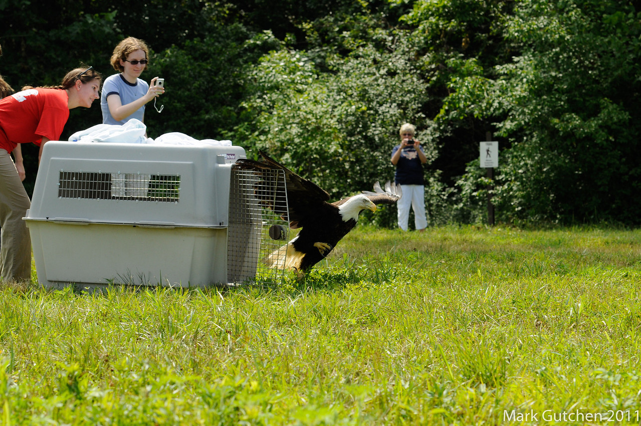 July 4, 2011, release of Einstein by the University of Missouri's Raptor Rehabilitation Program. It took a little bump to convince Einstein to leave his crate. However, once he did, Einstein's dash from the crate to the sky took about 3 seconds from the time he left the crate until the time he took flight over the flooding Missouri River. May fair winds carry you far and free.