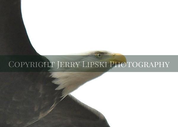 1 eagle head DSC_5749